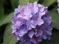 八仙花的图片
