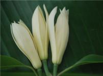 白兰花的图片