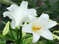 百合花的图片
