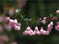 垂丝海棠的图片
