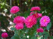 翠菊的图片