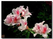 杜鹃花的图片