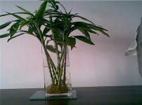 富贵竹的图片