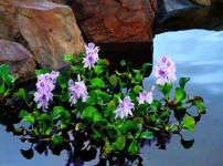 水葫芦图片