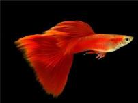 凤尾鱼的图片