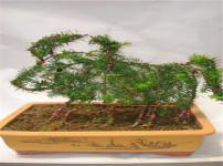 红豆杉的图片