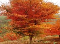 鸡爪槭的图片