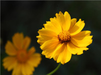 金盏菊的图片