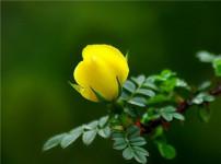 黄刺玫的图片