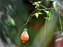 金玲花的图片