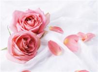 玫瑰花的图片