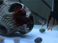 虎皮鱼的图片