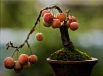 果树盆栽的图片