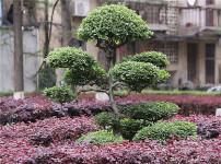 景观树的图片