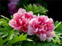 牡丹花的图片
