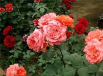 盆栽月季的图片