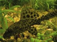 清道夫鱼的图片