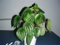 西瓜皮椒草的图片