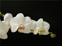 蝴蝶兰的图片