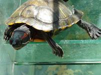 巴西龟图片