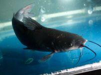 清江鱼的图片
