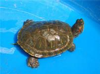 巴西龟的图片