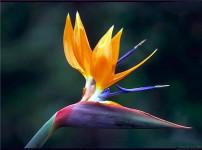 鹤望兰的图片