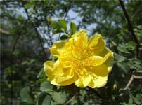 黄刺梅的图片