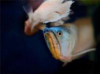 银龙鱼的图片