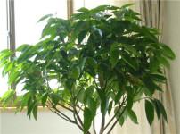 平安树的图片