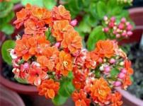 长寿花的图片