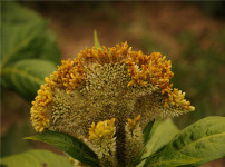 鸡冠花的图片