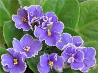 非洲紫罗兰的图片