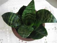 虎尾兰的图片