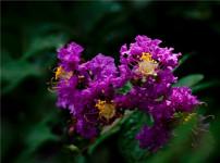 紫薇的图片