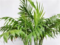 散尾葵的图片