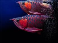红龙鱼的图片