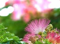 合欢花的图片