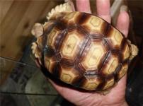 苏卡达龟的图片