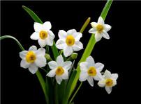 水仙花的图片