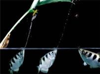 射水鱼的图片