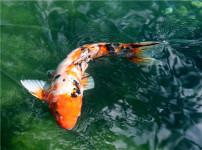 日本锦鲤的图片