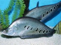 七星刀鱼的图片