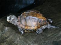 平胸龟的图片【平胸鬼?认真一些】