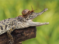 真鳄龟的图片