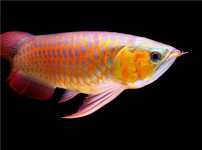 红金龙鱼的图片