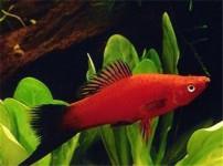 红剑鱼的图片