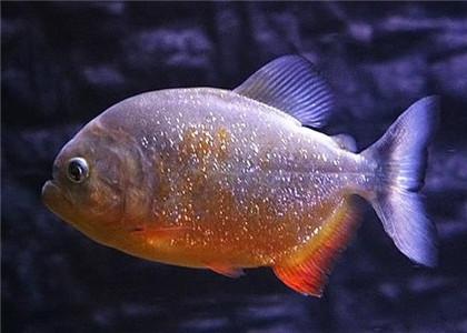 红腹水虎鱼