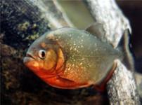 红腹水虎鱼的图片