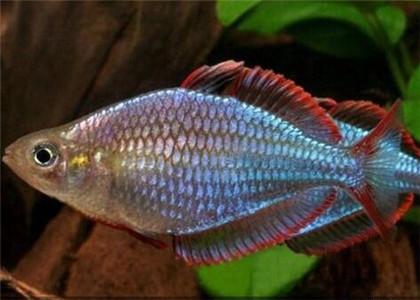 电光美人鱼
